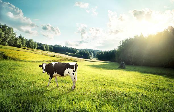 Cow pasture on a glade picture id529314655?b=1&k=6&m=529314655&s=612x612&w=0&h=zlghpebkmx3nic8je9zfxpt l5h73z8x iftbfhpxe0=