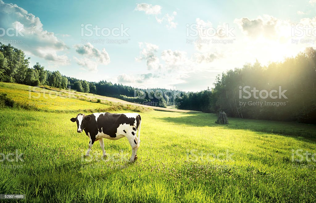 Cow pasture on a glade stock photo