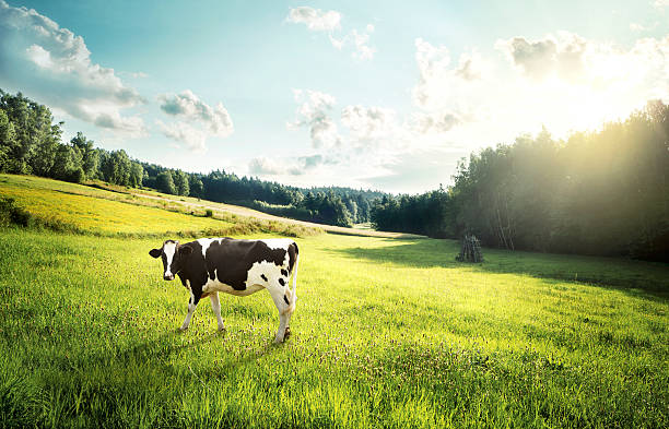 cow pasture on a glade - cow stock photos and pictures