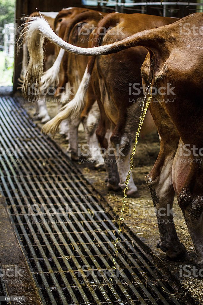 Cow peeing in the Cowshed Cow peeing in the Cowshed Agriculture Stock Photo