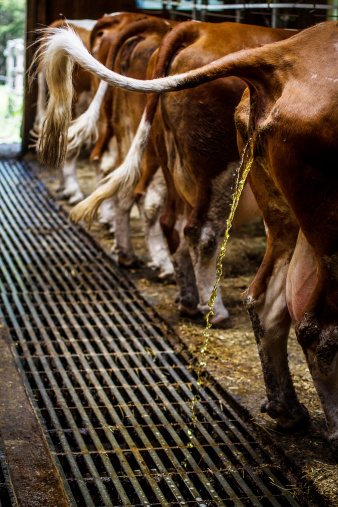 Cow Peeing In The Cowshed Stock Photo - Download Image Now