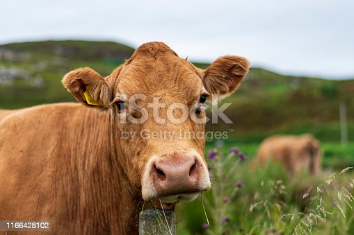 Cow staring into the camera