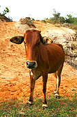 single young brown cow at red sand background