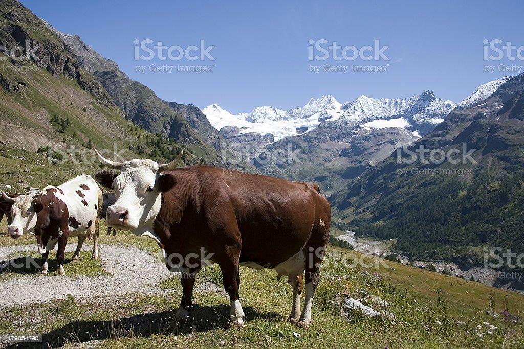 Cow (Italian Alps) royalty-free stock photo