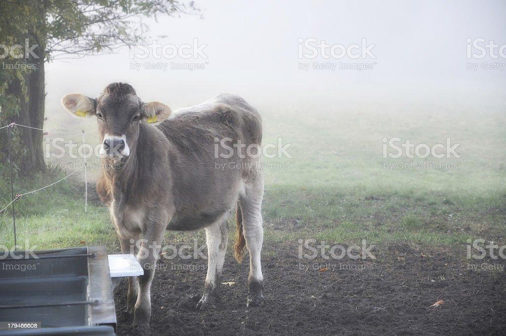 Cow – Foto