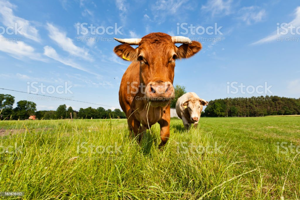 Cow Cow in a Pasture Aggression Stock Photo