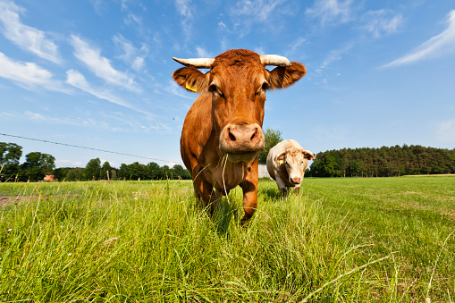 Cow Stock Photo - Download Image Now
