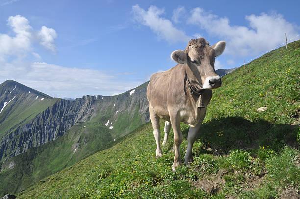 cow - fiss tirol stock-fotos und bilder