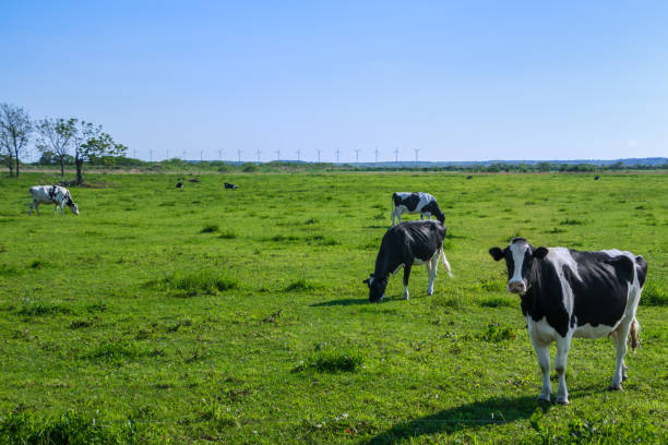 Cow Cow milk that grew up in Hokkaido is delicious  paddock stock pictures, royalty-free photos & images