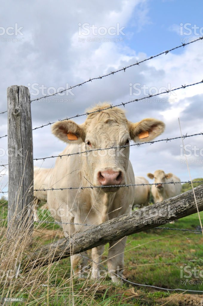 Vache - Royalty-free Agricultural Field Stock Photo