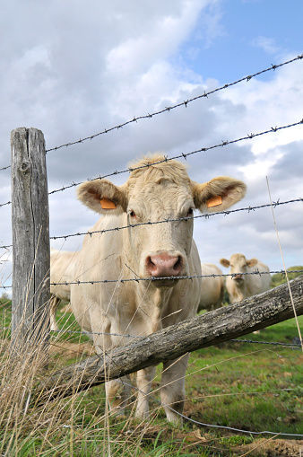 Vache Stock Photo - Download Image Now