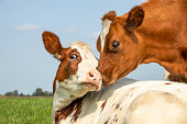 istock Cow playfully cuddling another young cow lying down in a field under a blue sky, calves love each other 1282528841
