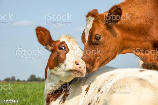 Photo of Cow playfully cuddling another young cow lying down in a field under a blue sky, calves love each other