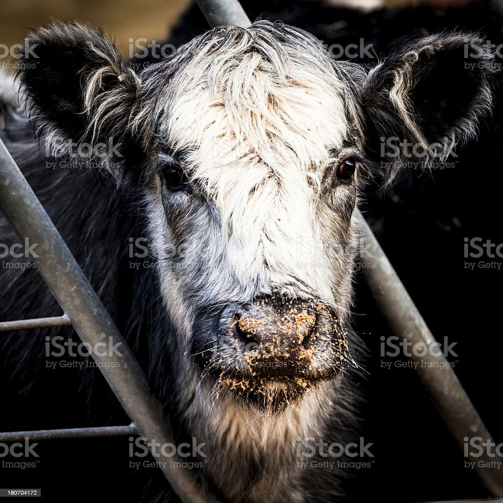 Cow Portrait Behind a Fence royalty-free stock photo