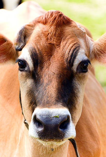 cow portrait, complete with cud - cud stock pictures, royalty-free photos & images