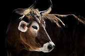 Close-up of dairy cow in the front of dark, almost black backgroung (Brown Swiss Cattle, also known as Braunvieh)
