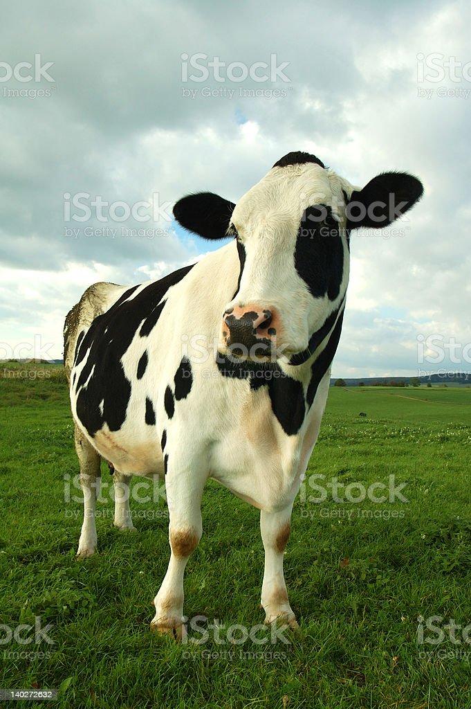 Kuh-Porträt – Foto