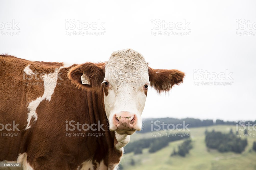 Cow Portrait stock photo