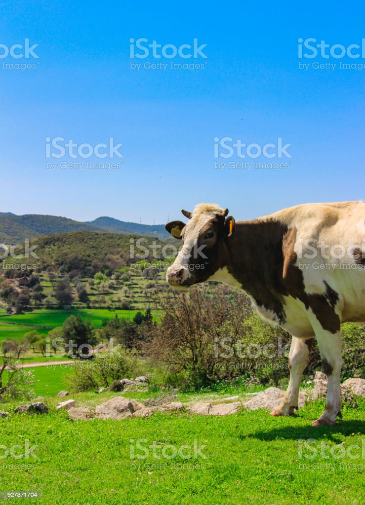 Cow portrait - Royalty-free Agricultural Field Stock Photo