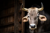 Cow portrait (Brown Swiss Cattle)
