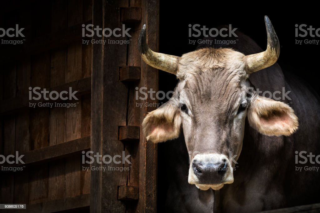 Kuh-Porträt (Brown-Swiss Rinder) – Foto
