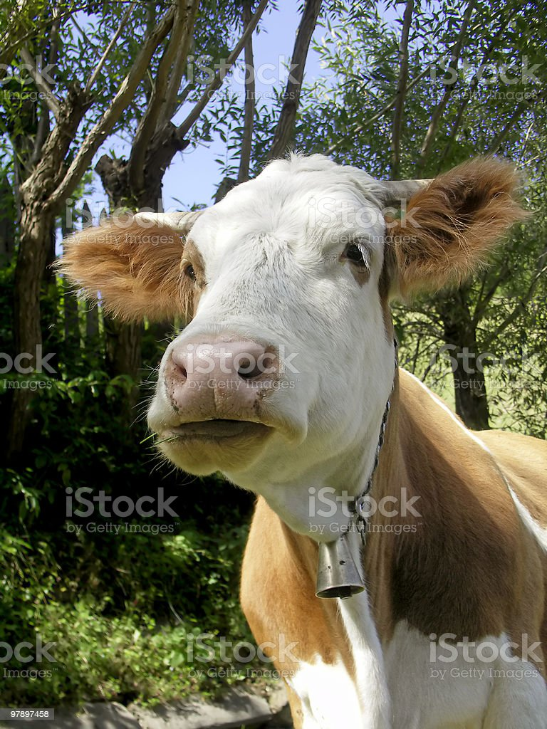 Cow Portrait royalty-free stock photo