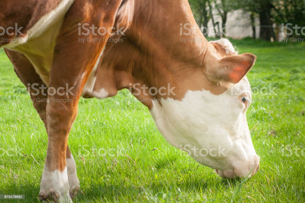 cow portrait right side stock photo