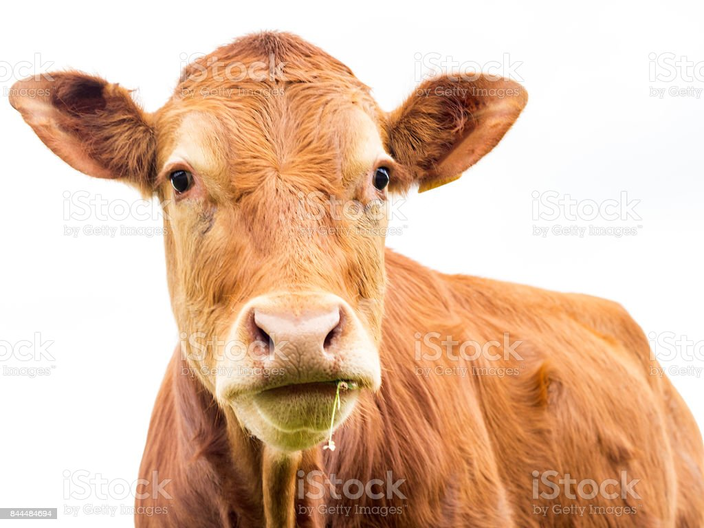 Cow Portrait, selective focus with white background stock photo