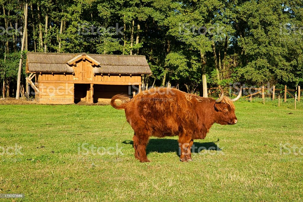 Cow, red Highland cattle (Scottish Gaelic) peeing on pasture royalty-free stock photo