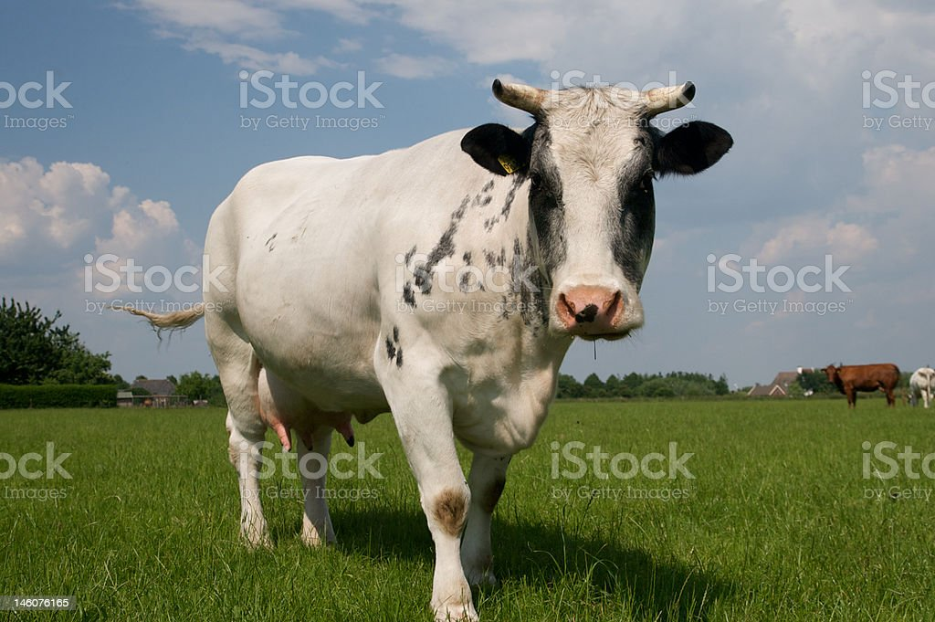 Cow relaxing in Summer. stock photo