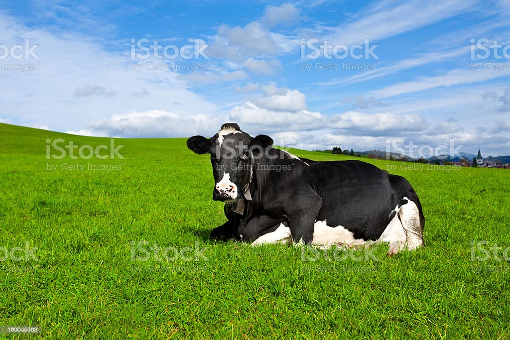 Cow Resting in Grass stock photo