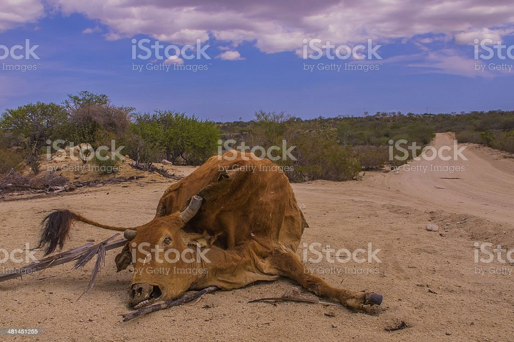 Cow roadkill stock photo