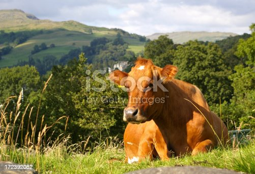 Cow sat contemplating life in the english countryside