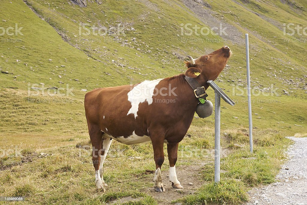 Cow scratching an itch. royalty-free stock photo
