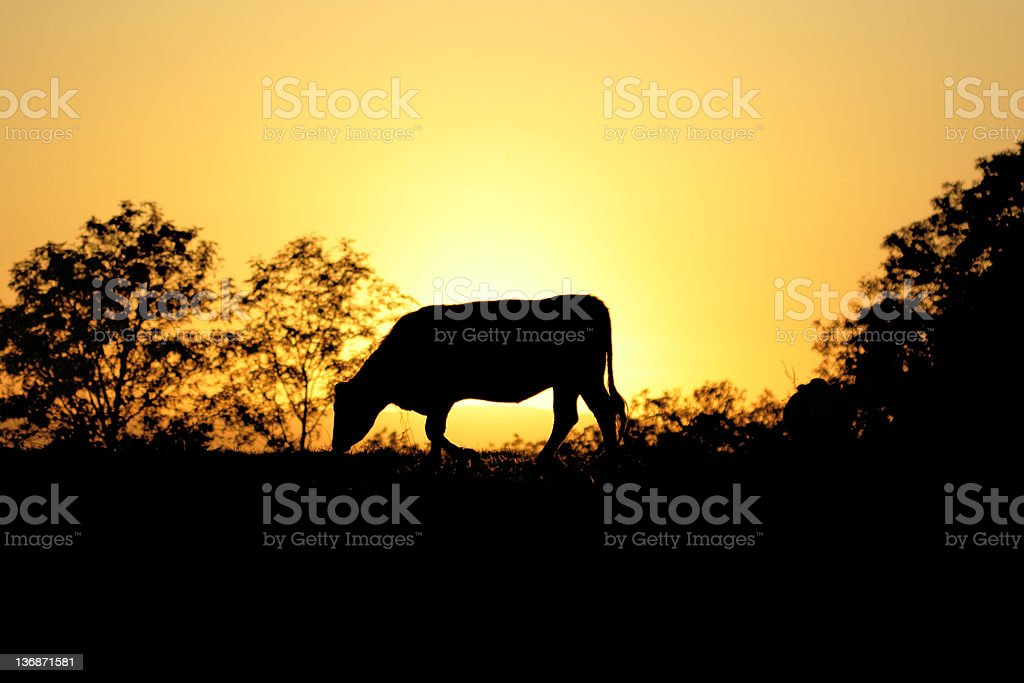 cow silhouette at sunset royalty-free stock photo