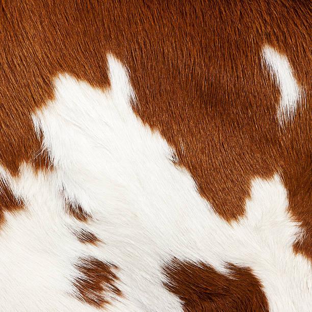 Cow skin # 4 XL stock photo