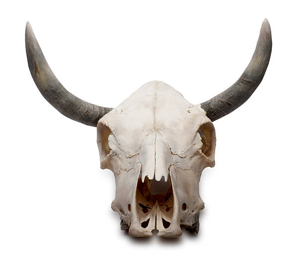 Download Royalty Free Cow Skull Pictures, Images and Stock Photos ...