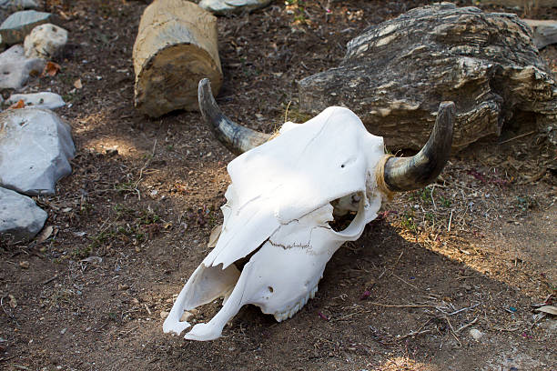 Cow Skull Left Side View stock photo