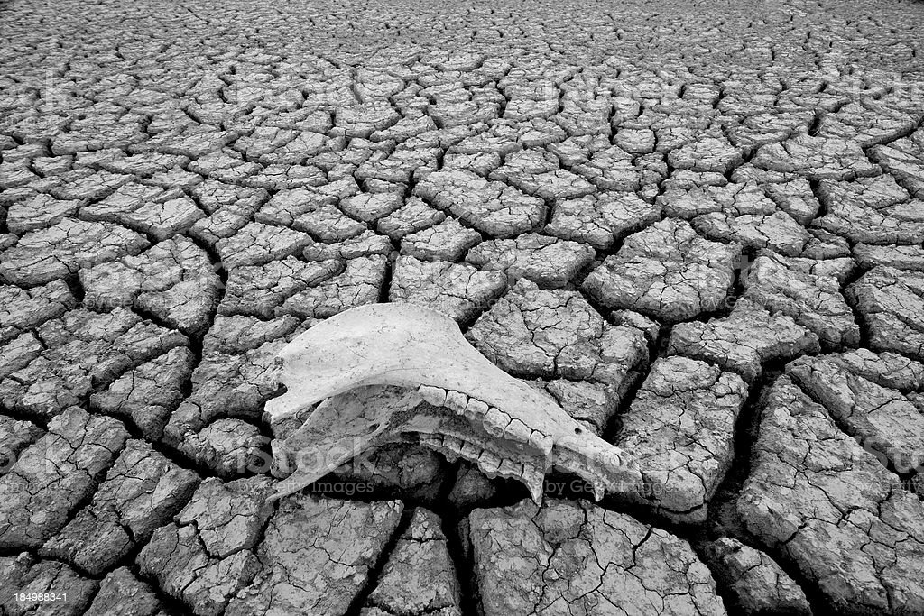 Cow skull on a dry river bed royalty-free stock photo