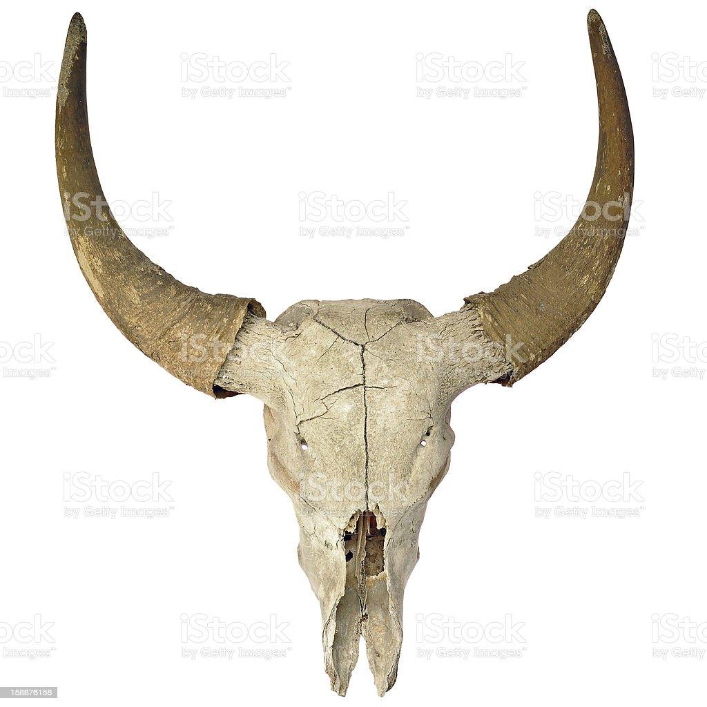 Cow Skull on White royalty-free stock photo