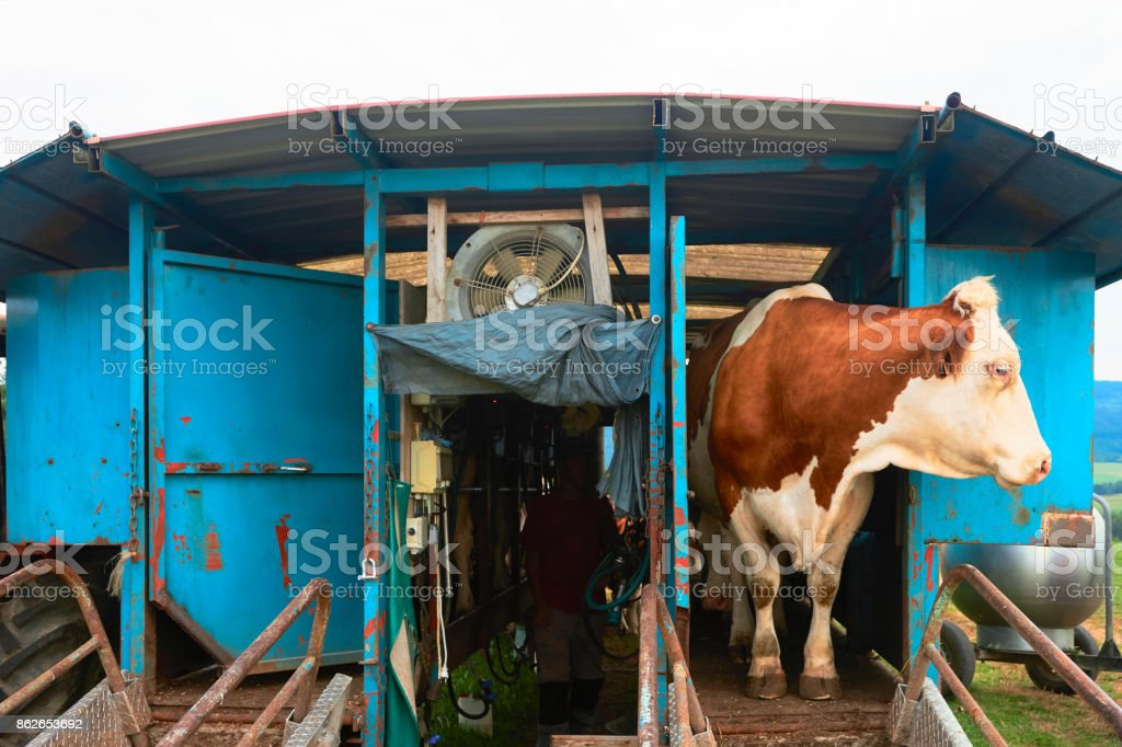 Cow standing before machine milking operation stock photo