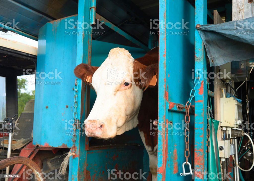 Cow standing during mechanical milking process stock photo