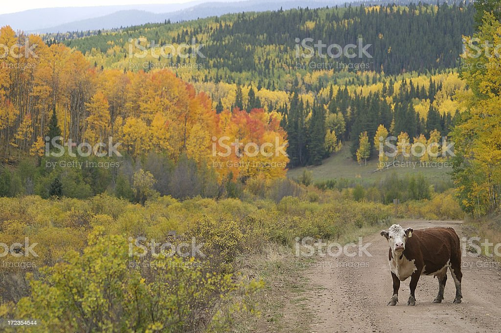 Cow standing in a Colorado road, amongst autumn trees stock photo