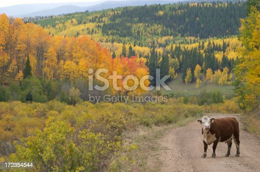 Cow Standing In A Colorado Road Amongst Autumn Trees Stock Photo & More Pictures of Agriculture