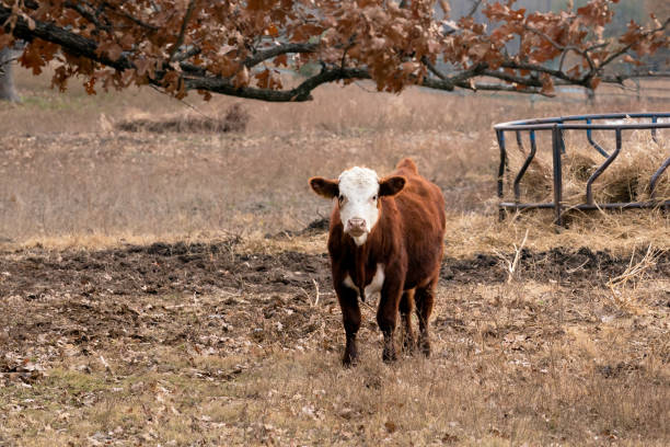 Cow standing in a pasture - stock photo