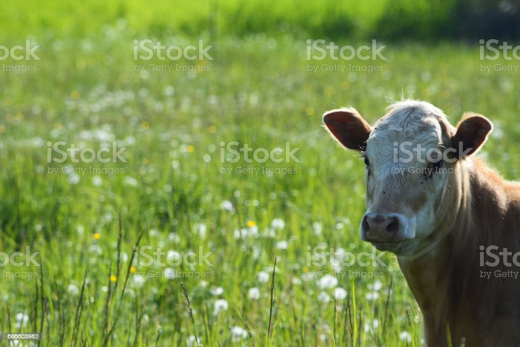 Cow Standing in Green Meadow royalty-free stock photo