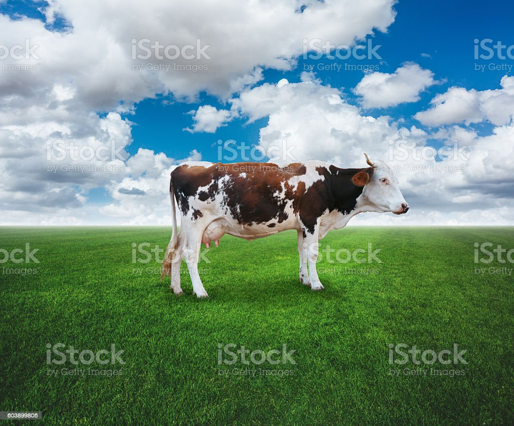 Cow standing on field stock photo