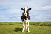 Cow stands alone in a meadow, handsome and full-length with copy space and blue background.
