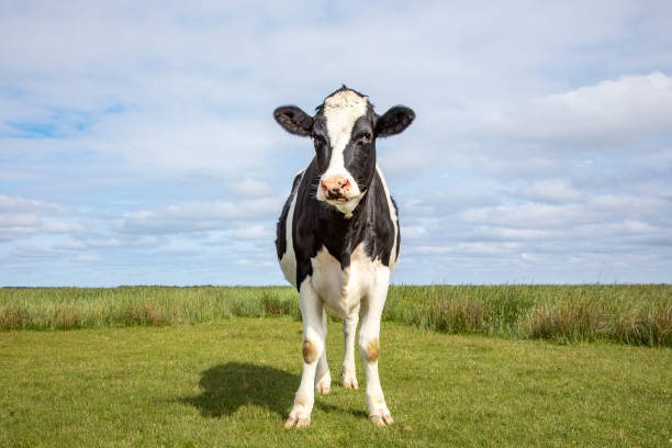 Cow stands in a field, handsome and full-length with blue cloudy sky. Cow stands alone in a meadow, handsome and full-length with copy space and blue background. cow stock pictures, royalty-free photos & images
