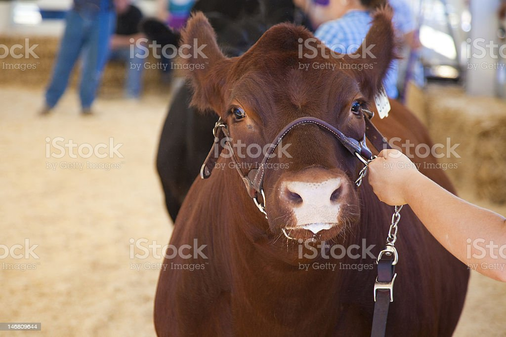 Cow Stare royalty-free stock photo